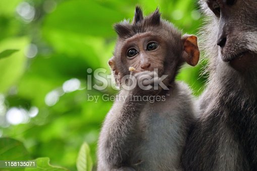 Monkey's cub, Green macaque feeding his cub in his arms. Close-up. A monkey in immersed in the green of the surrounding nature.
