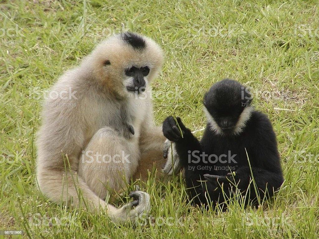 원숭이 왜고너의 Debating royalty-free 스톡 사진