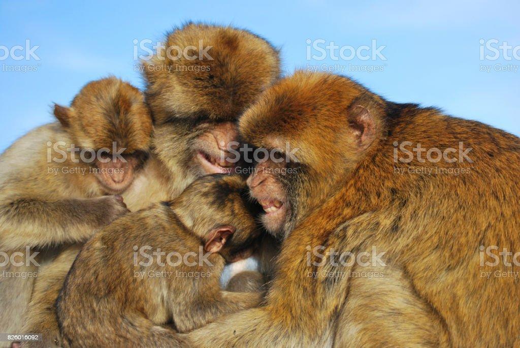 Monkeys family stock photo