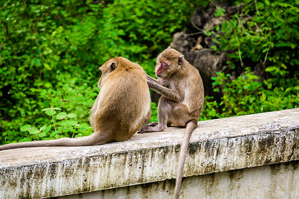 monkeys (crab eating macaque) grooming one another. stock photo