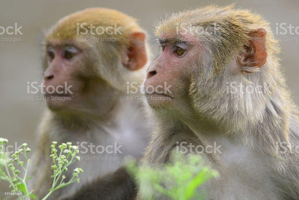 Monkeys in Kathmandu stock photo