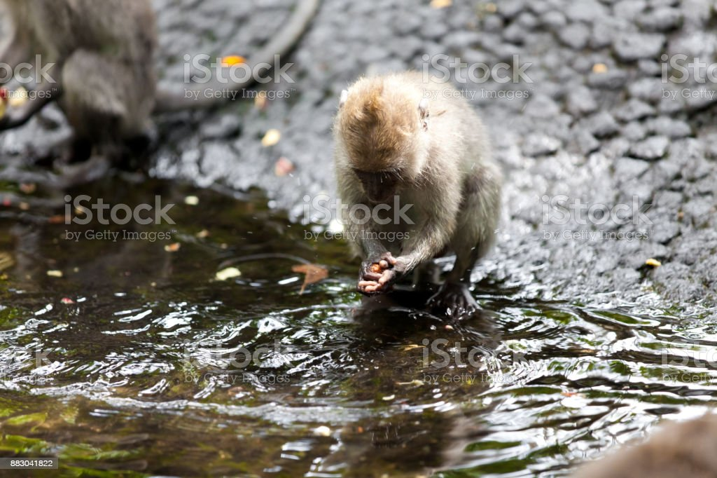 Monkeys in monkey forest in Bali stock photo