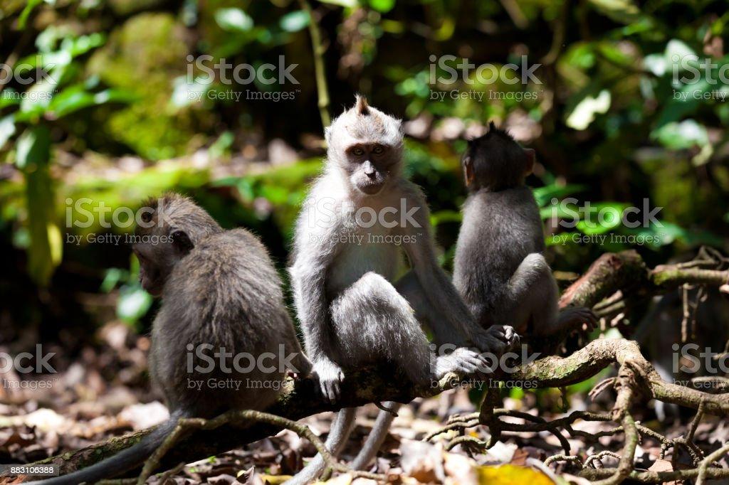 Monkeys in monkey forest in Bali stock photo