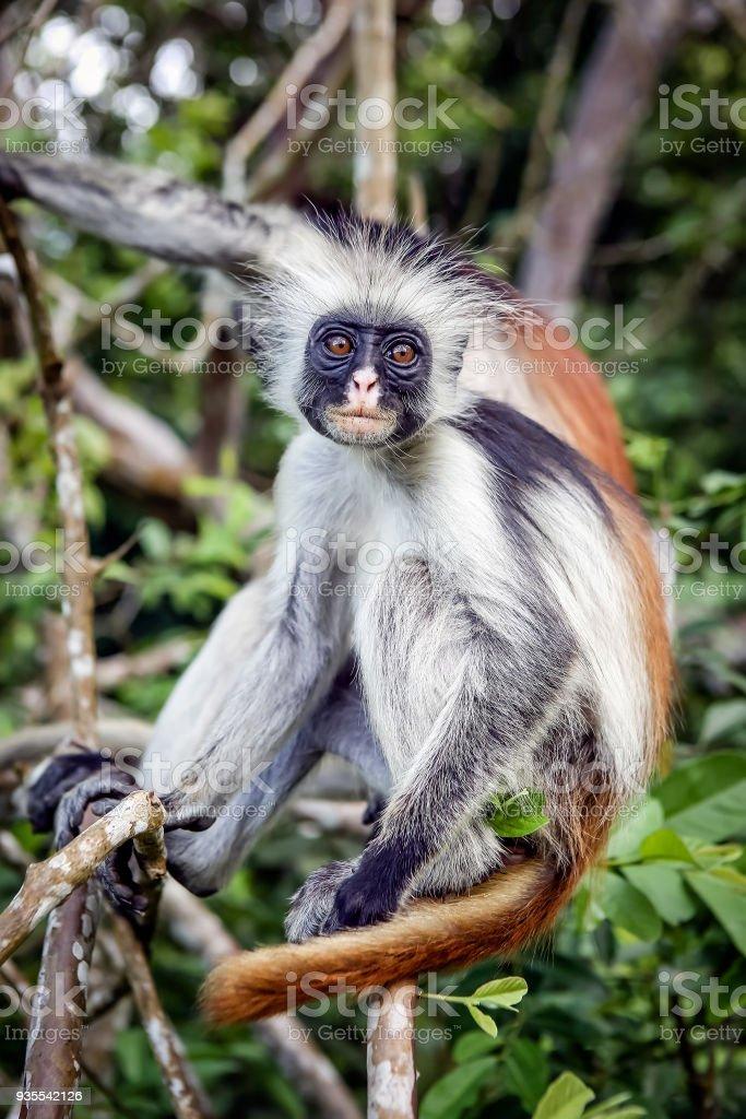 Affen Im Natürlichen Lebensraum In Den Bäumen Am Nachmittag