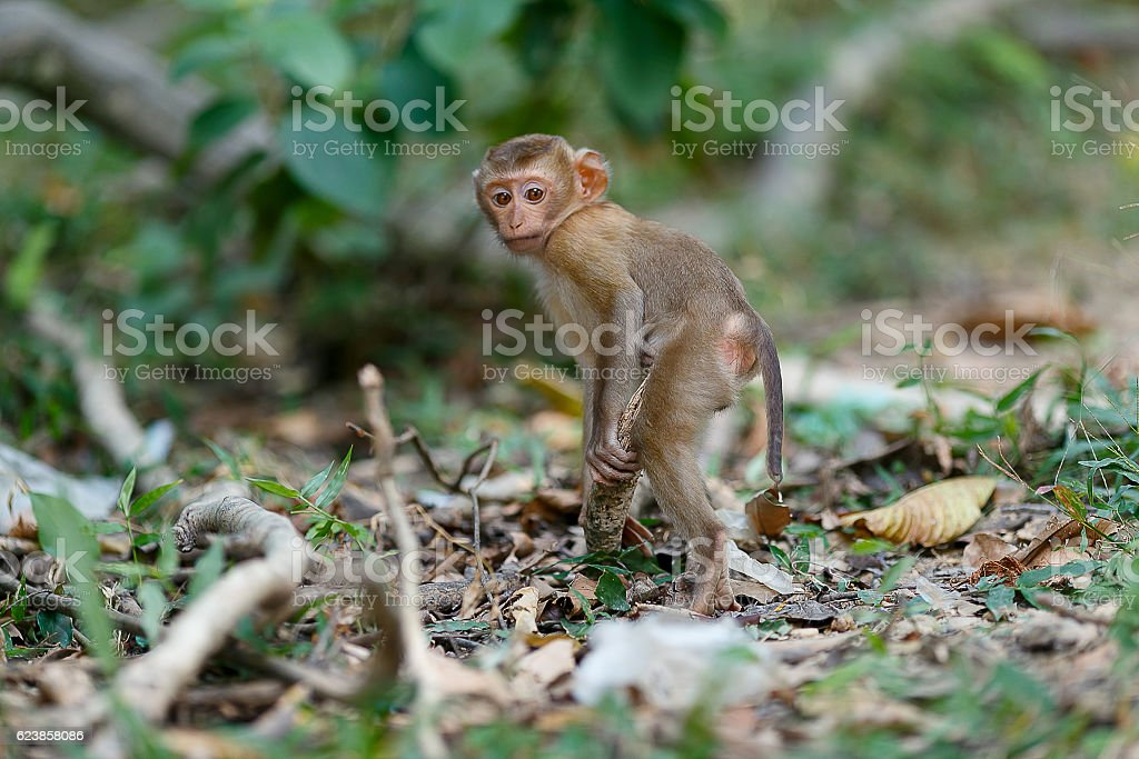 monkeys in the southern of Thailand stock photo