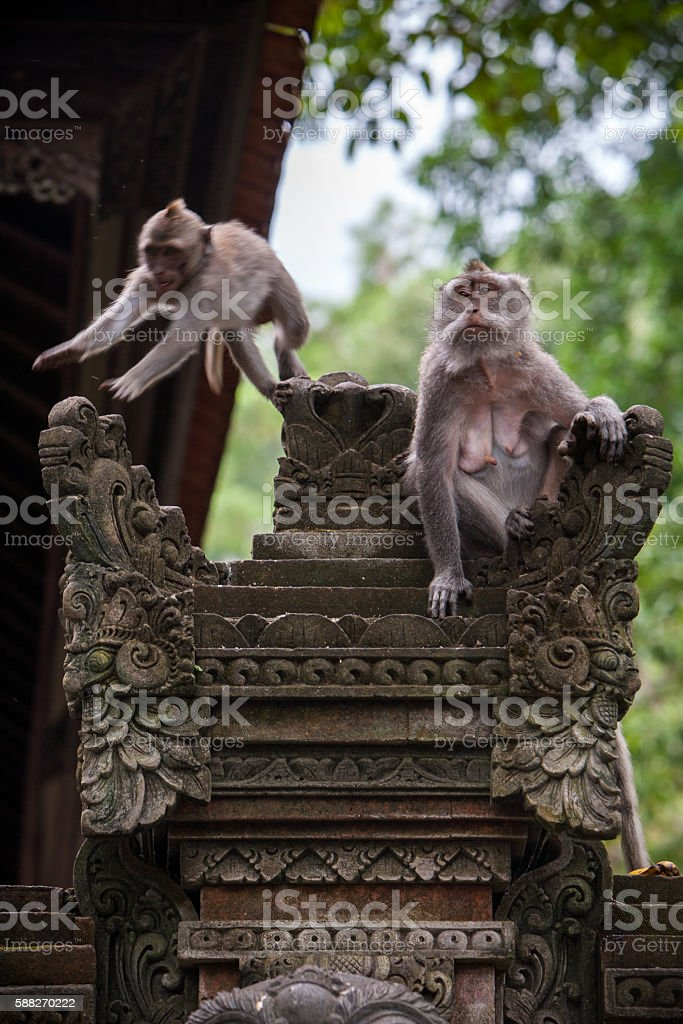 monkeys in the temple stock photo