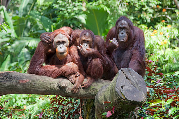 monkeys in the wild  orangutan stock pictures, royalty-free photos & images