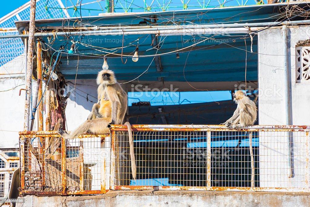 Monkeys in Udaipur stock photo