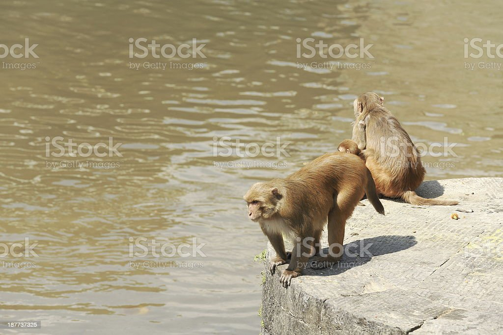 Monkeys -macacus rhesus- in Pashupatinath temple-Bagmati river-Deopatan-Kathmandu-Nepal. 02823 stock photo