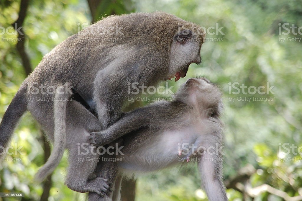 Monkeys Making Love Stock Photo & More Pictures of