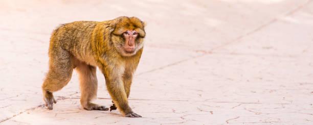 Affen in der Nähe des Ouzoud Wasserfalls in Marokko. Kopieren Sie Speicherplatz für Text. – Foto