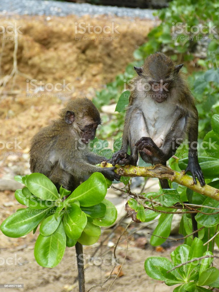 Monkeys on a tree. royalty-free stock photo