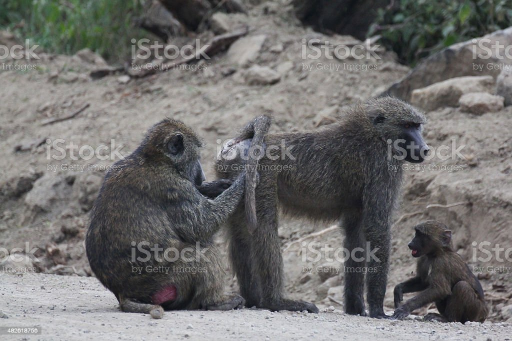 Monkeys picking lice stock photo