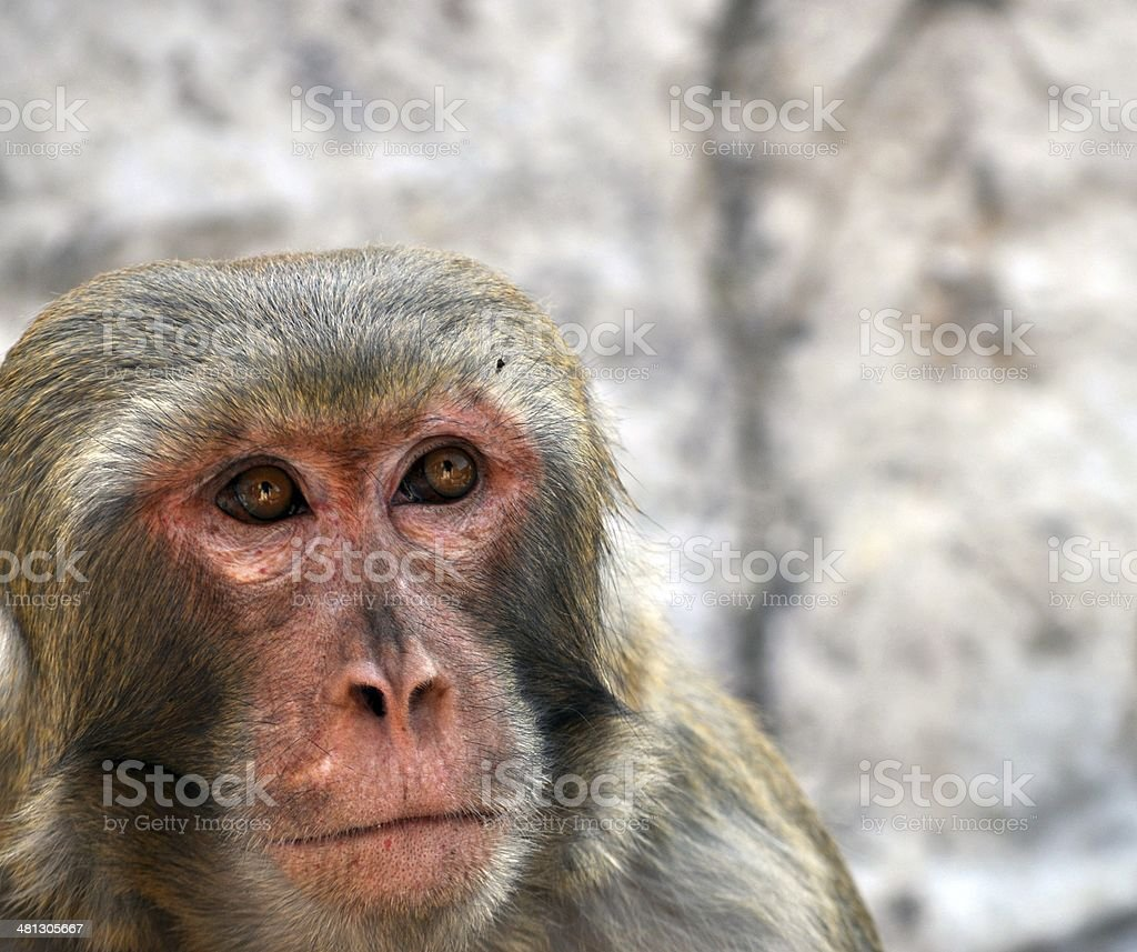 Monkeys royalty-free stock photo