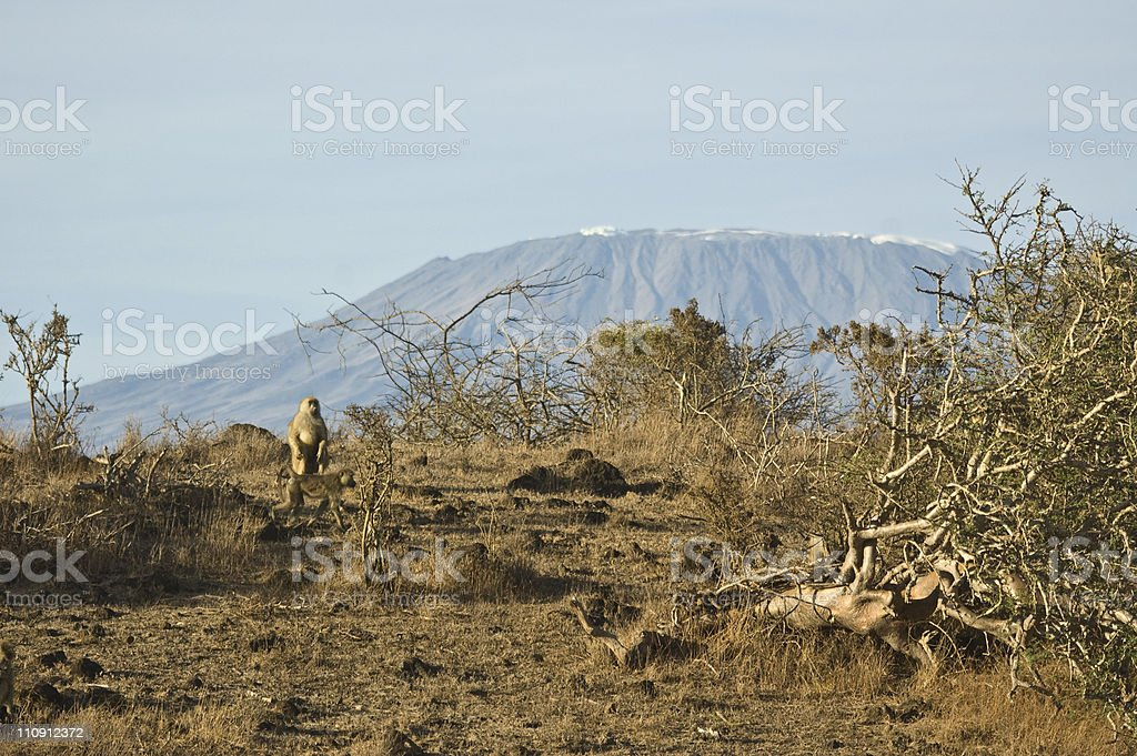 Monkeys playing in front of Kilimanjaro royalty-free stock photo