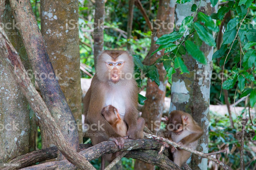 monkeys  playing on a tree branch stock photo