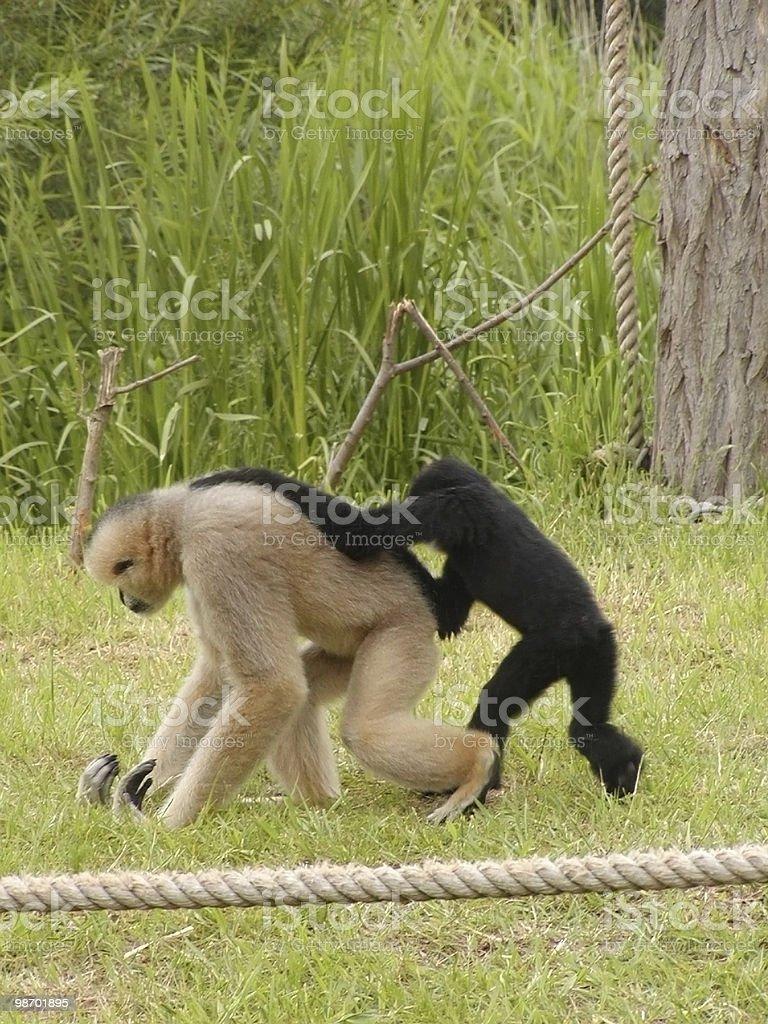 Monkey's Playing royalty-free stock photo