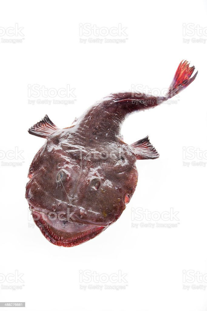 Monkfish stock photo