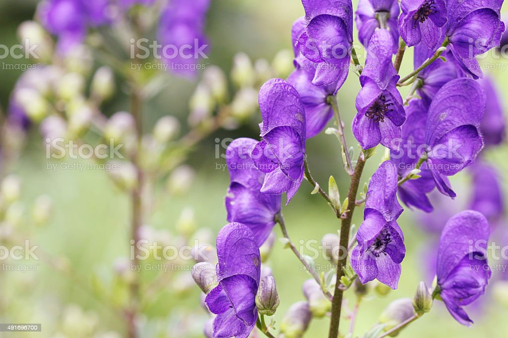 Aconit napellus Monkshood (fleurs - Photo