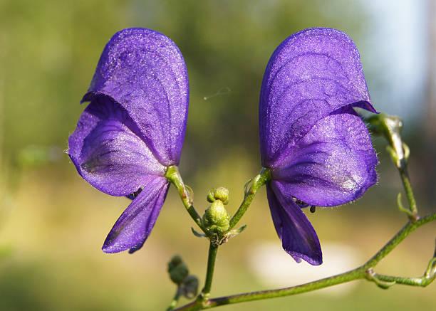 Monkshood (Aconit napellus) fleurs - Photo