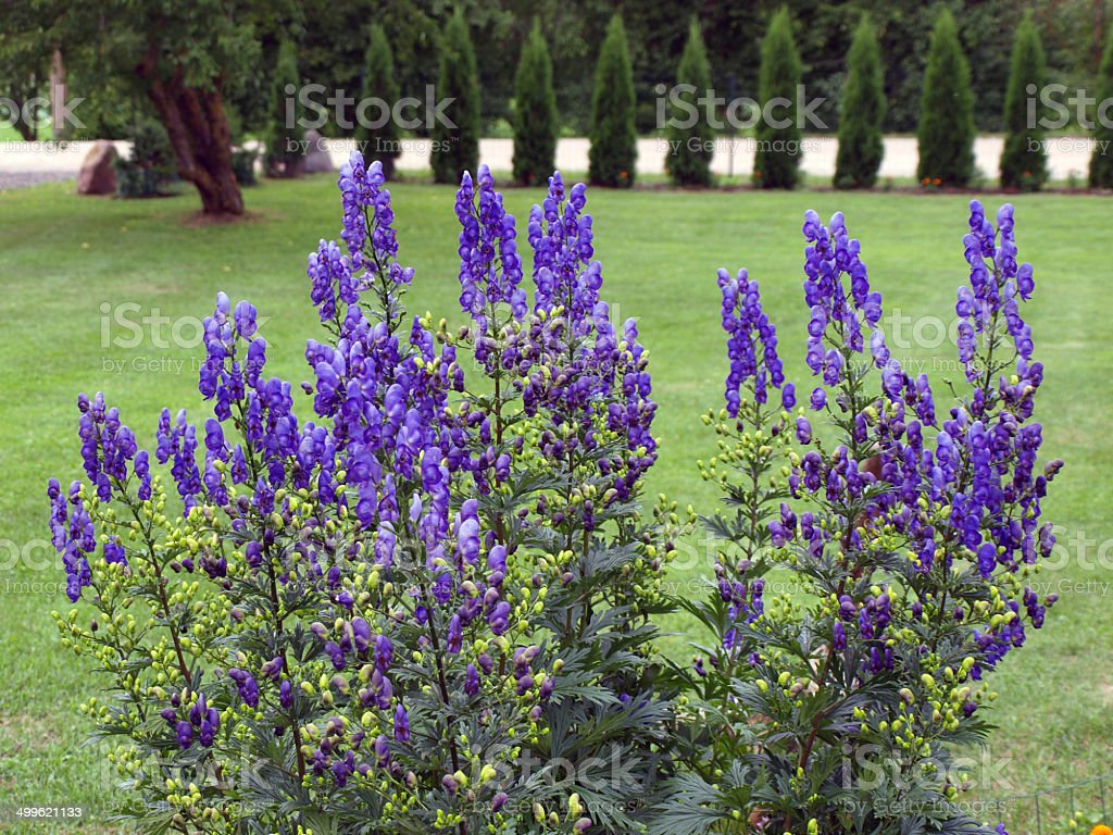 Monkshood fleurs - Photo