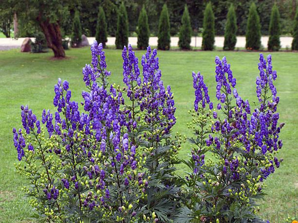 Monkshood fleurs - Photo