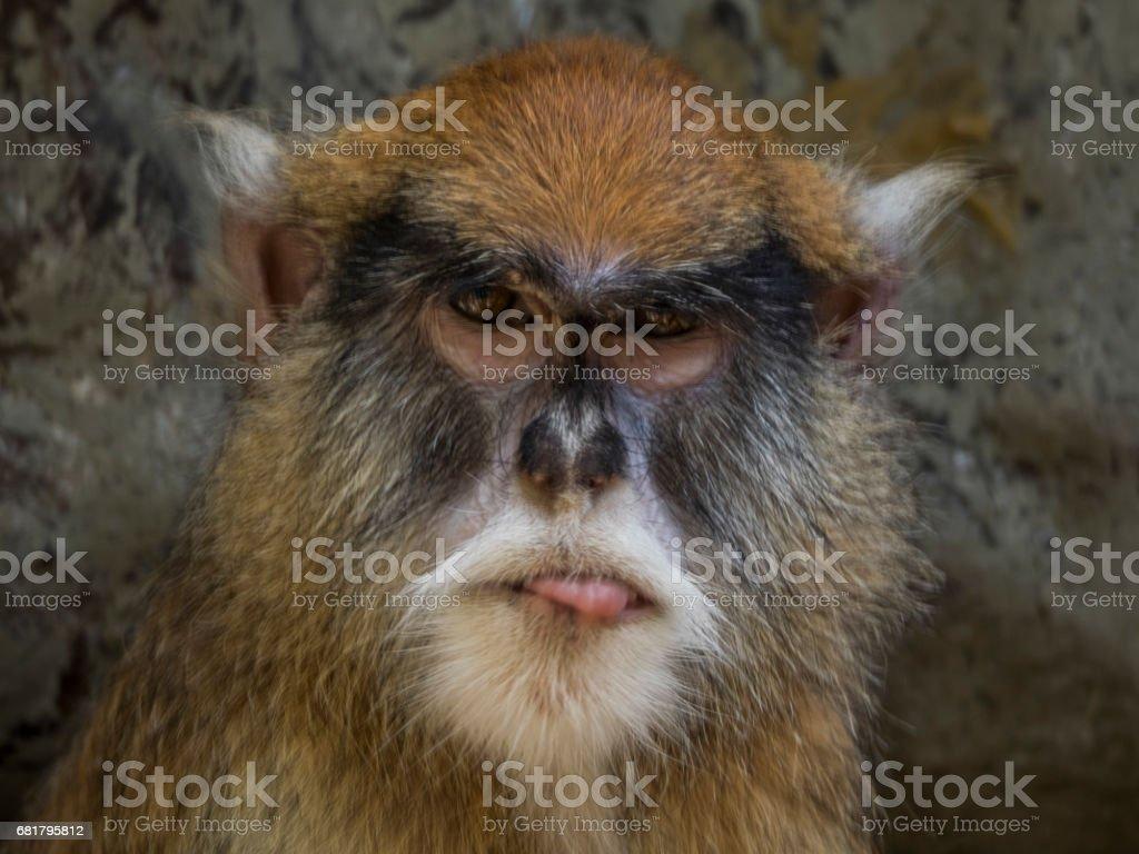 Mono patas stock photo