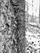 Macro of mossy tree trunk with hairy vine
