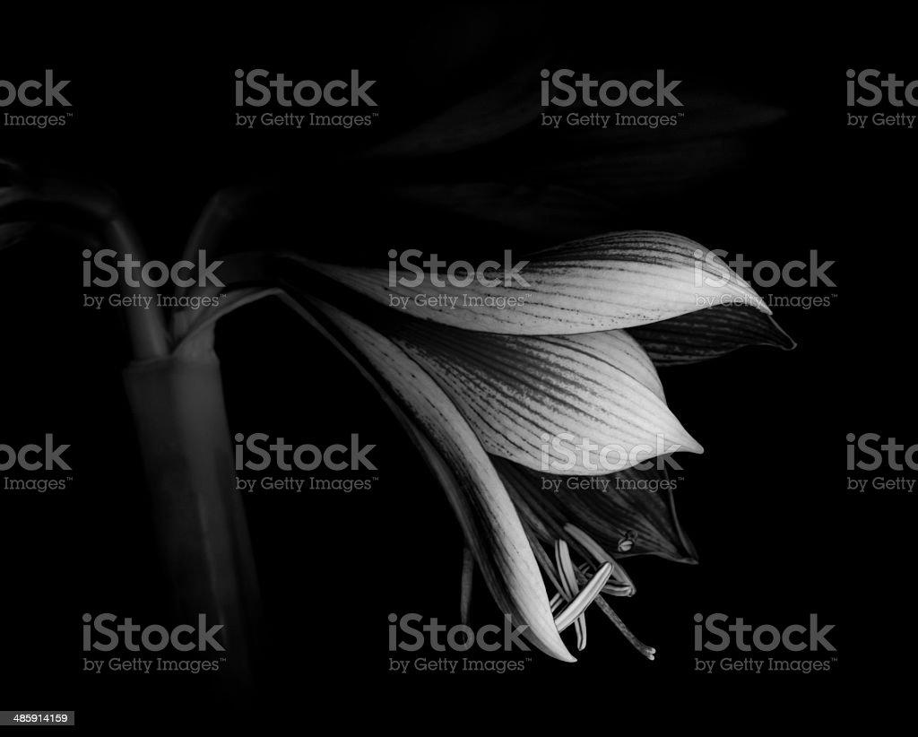 Monochrome Amaryllis bloom begins to open -XXXL stock photo