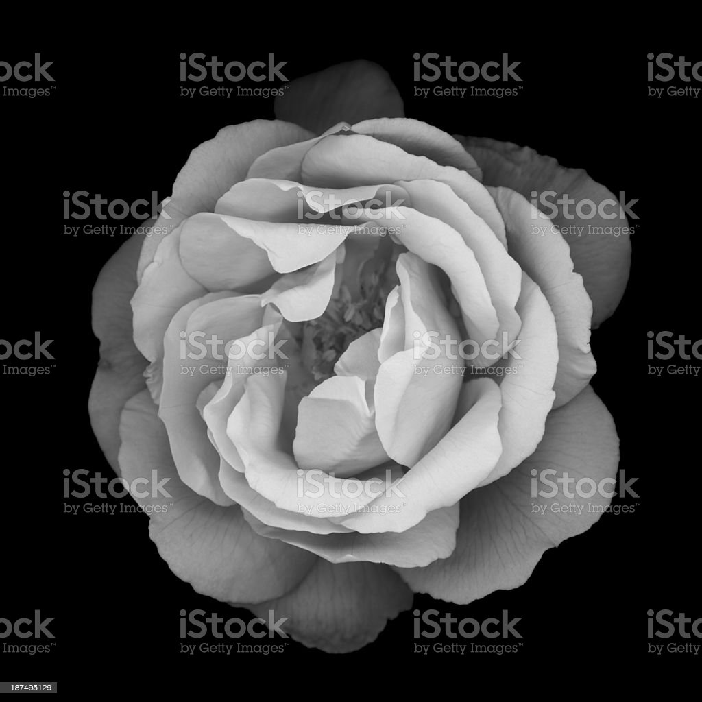A monochrome and very dull looking flower  stock photo