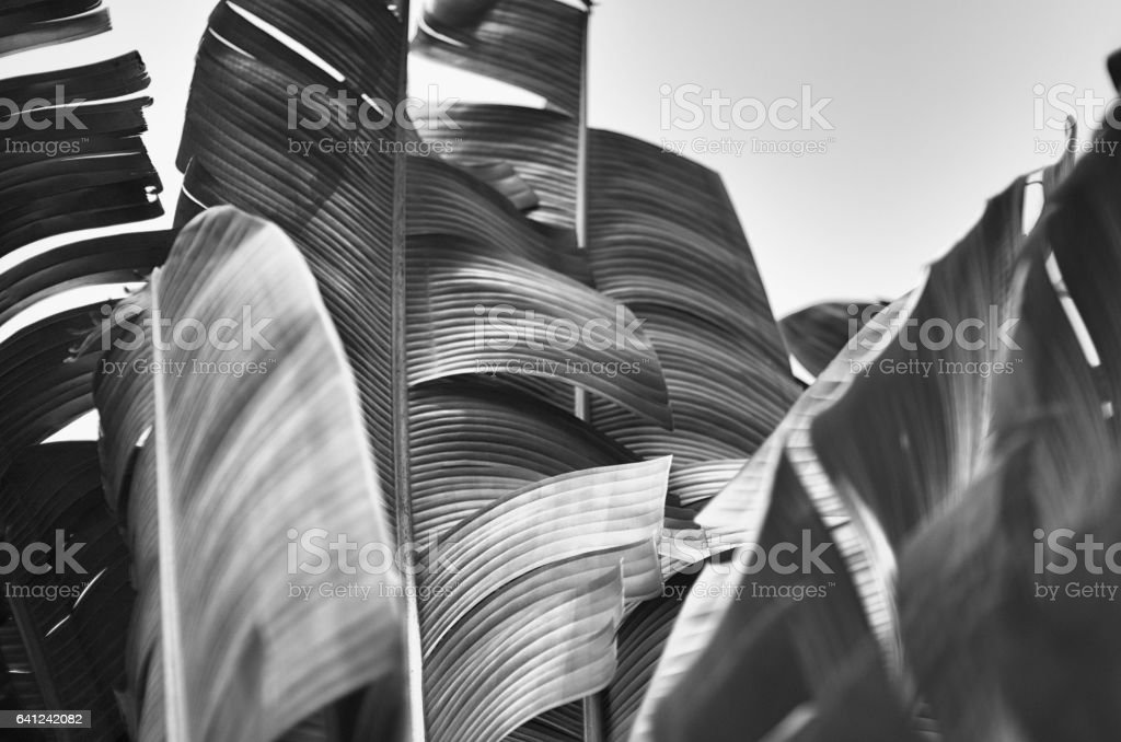 Monochrome Background of Tropical Banana Palm Fronds stock photo