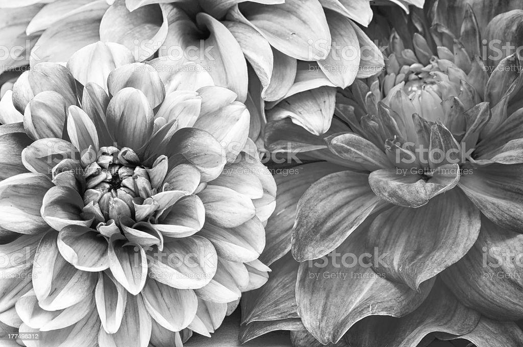 Monochrome Bouquet of Dahlia Flowers stock photo