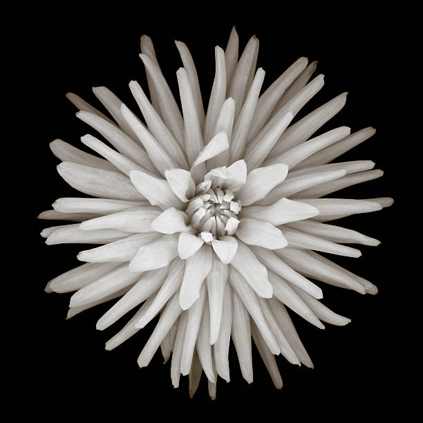 Monochrome cactus dahlia stock photo