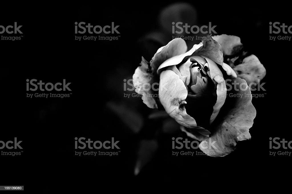 Monochrome Chinese rose stock photo
