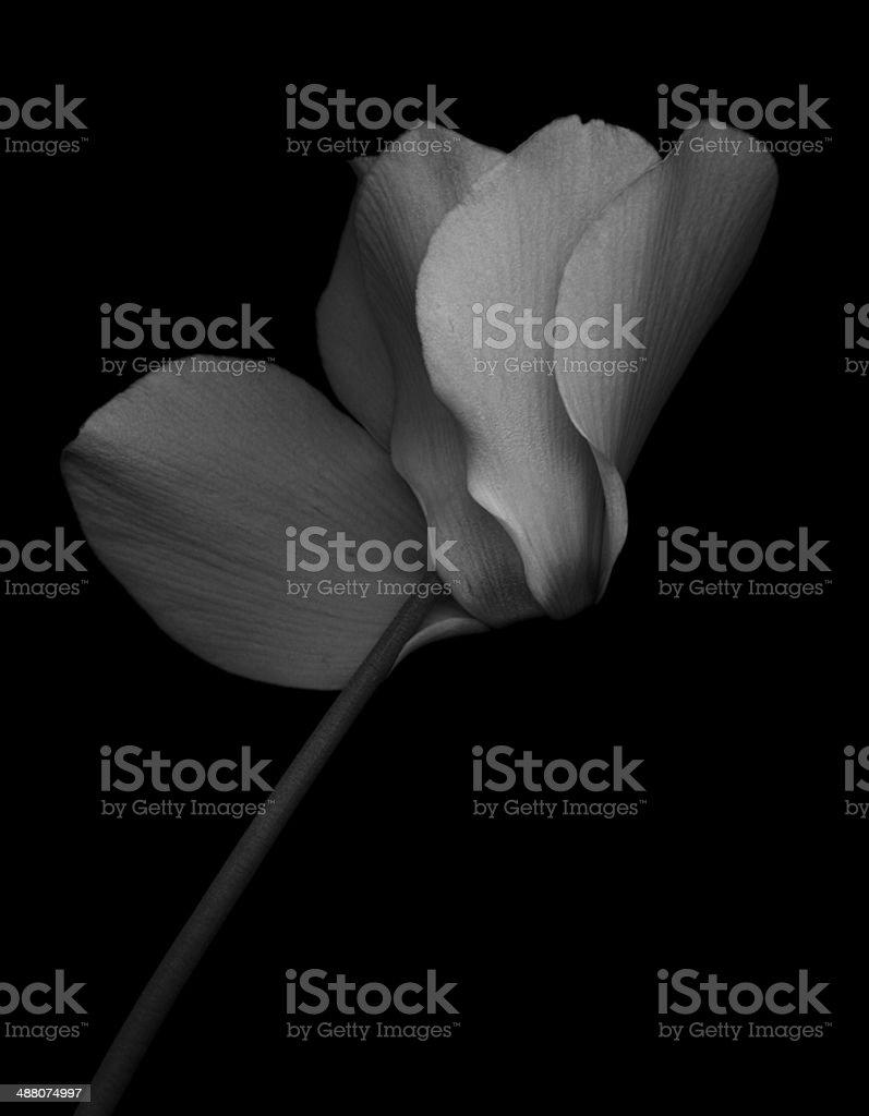 Monochrome Cyclamen -XXL stock photo