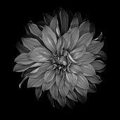 Monochrome dahlia isolated on a black background