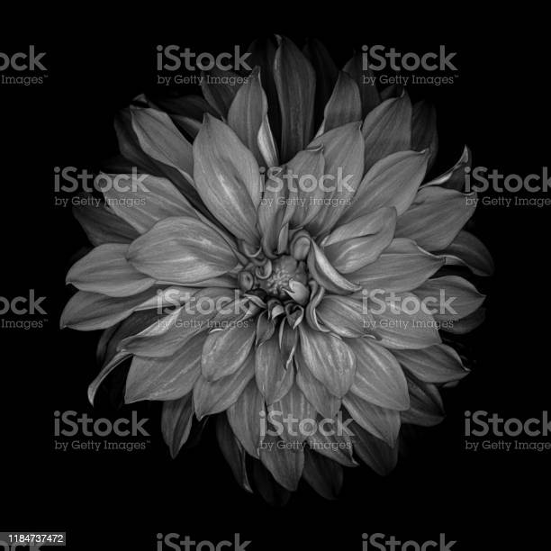 Monochrome dahlia isolated on a black background picture id1184737472?b=1&k=6&m=1184737472&s=612x612&h=4tbjz8og52m37kif6k4yvi4ngtctliol1sxn3d9uq74=