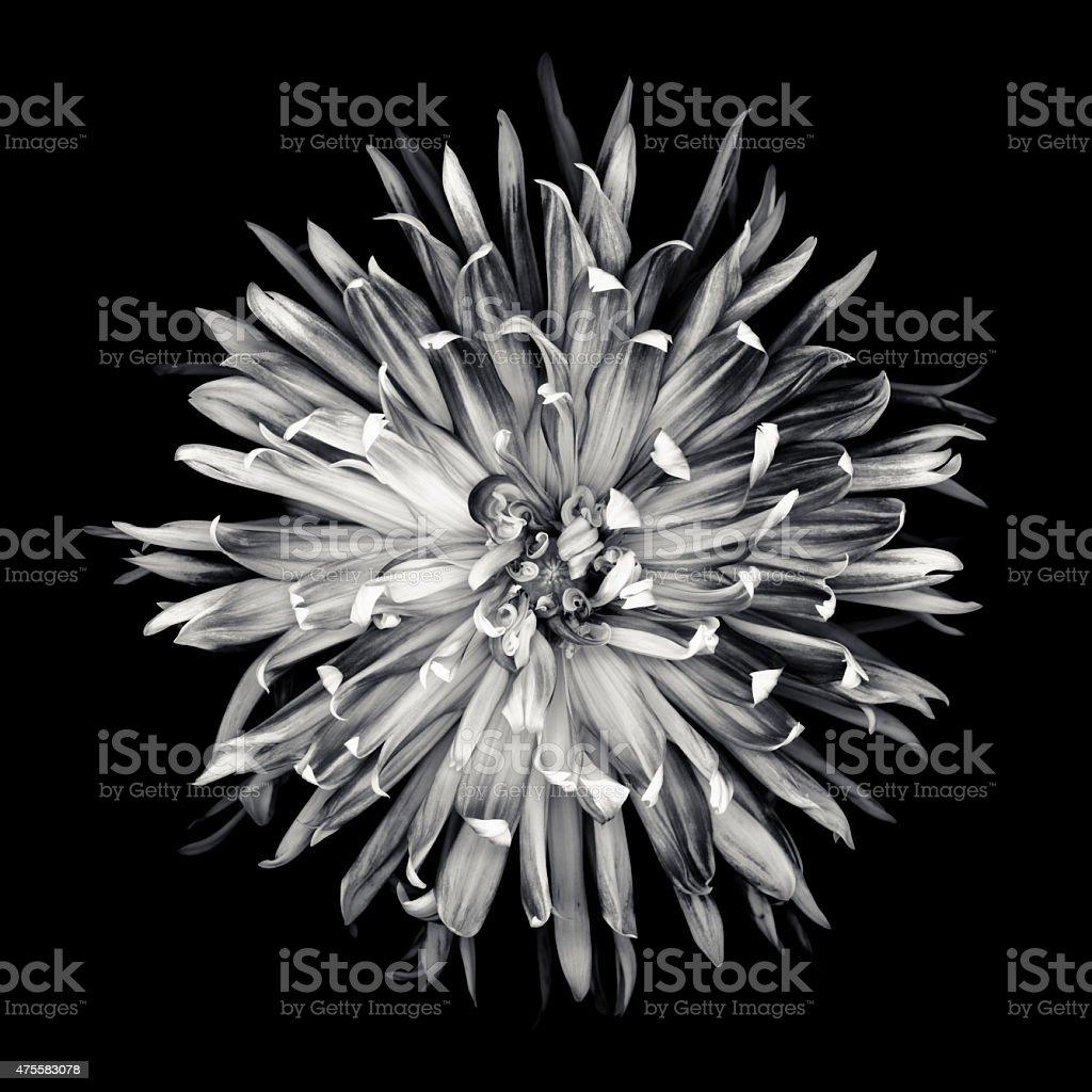 XXXL: Monochrome dahlia isolated on a black background stock photo