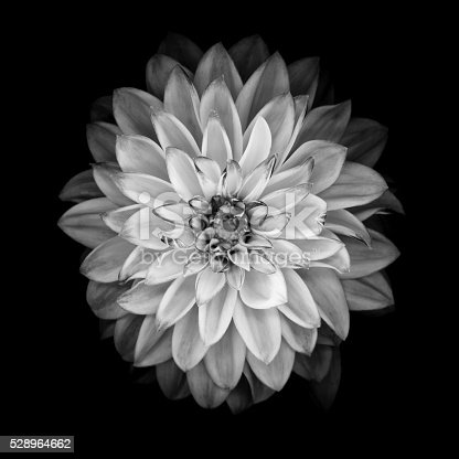 istock Monochrome dahlia isolated on a black background 528964662