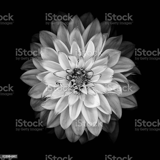 Monochrome dahlia isolated on a black background picture id528964662?b=1&k=6&m=528964662&s=612x612&h=hkrjufrbjw5uoie72lp7n1cd46hyisdhvdnkwybydrg=