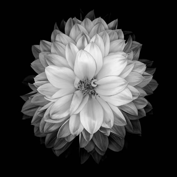 Monochrome dahlia isolated on a black background stock photo