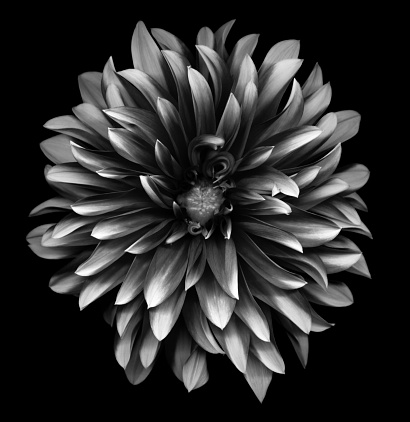 A dahlia with many petals in black and white (monochrome).