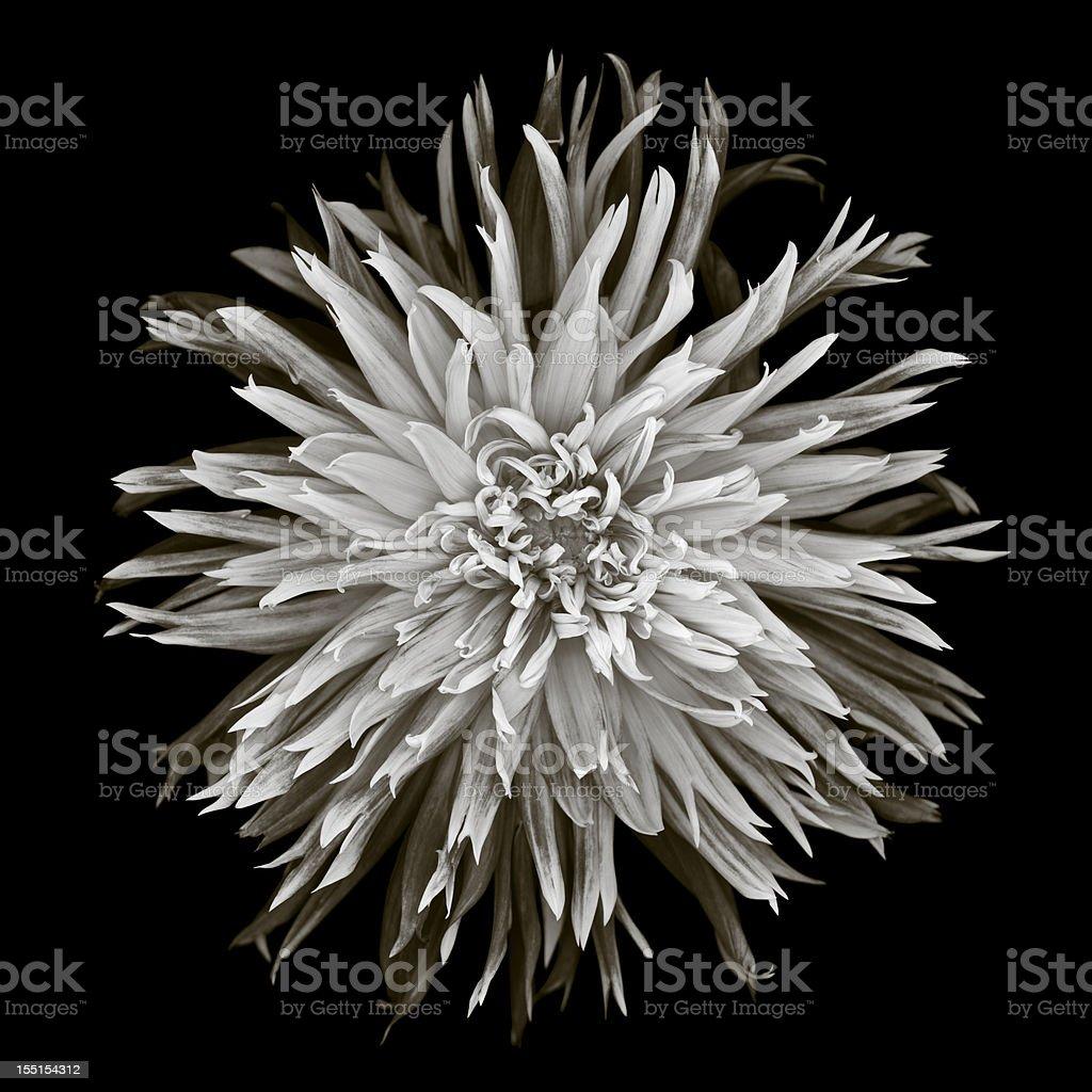 Monochrome dahlia stock photo