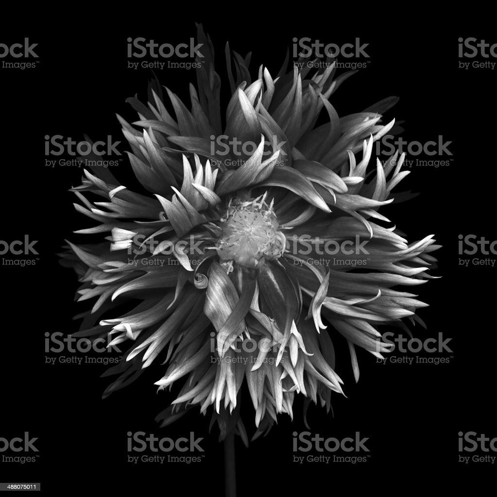 Monochrome dahlia -XXXL stock photo