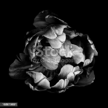istock Monochrome double tulip isolated against a black background 168619691