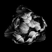 Monochrome double tulip isolated against a black background