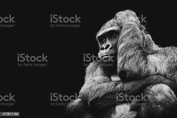Monochrome graphic of a gorilla in thought picture id472911184?b=1&k=6&m=472911184&s=612x612&h=btoeqkpmu43vhqe ibx38hdiz2cedqe2guxddj2 awq=