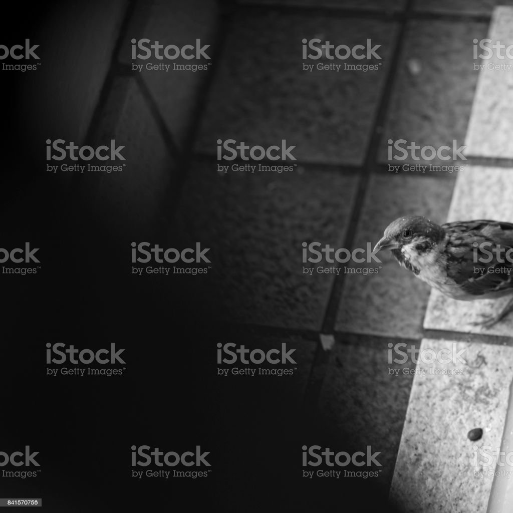 Monochrome: high angle view of Sparrow stock photo
