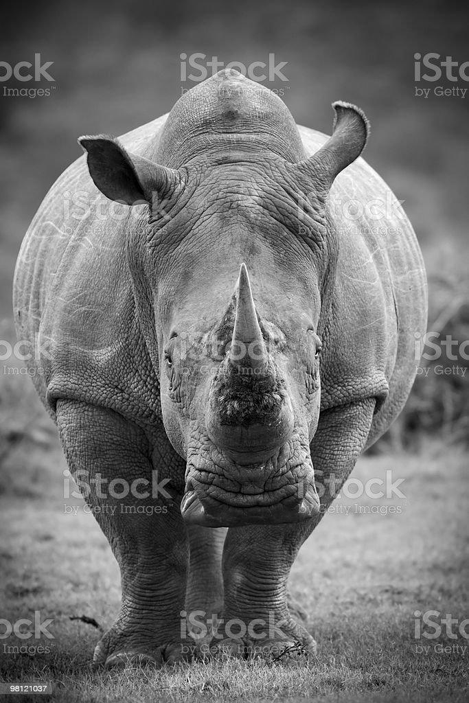 Monochrome image of a white rhinoceros royalty-free stock photo