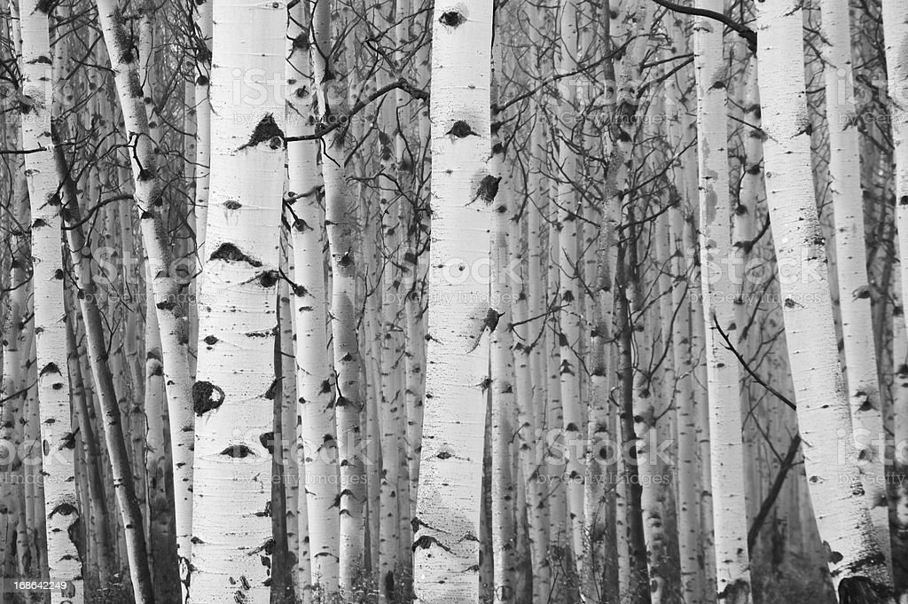 Monochrome image of white birch tree forest stock photo
